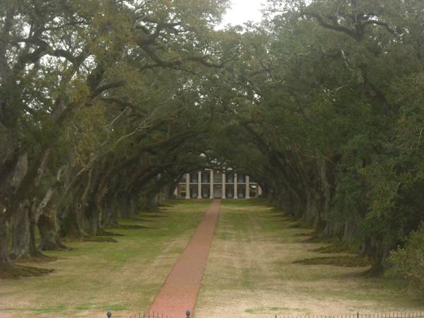 The oaks of Oak Alley