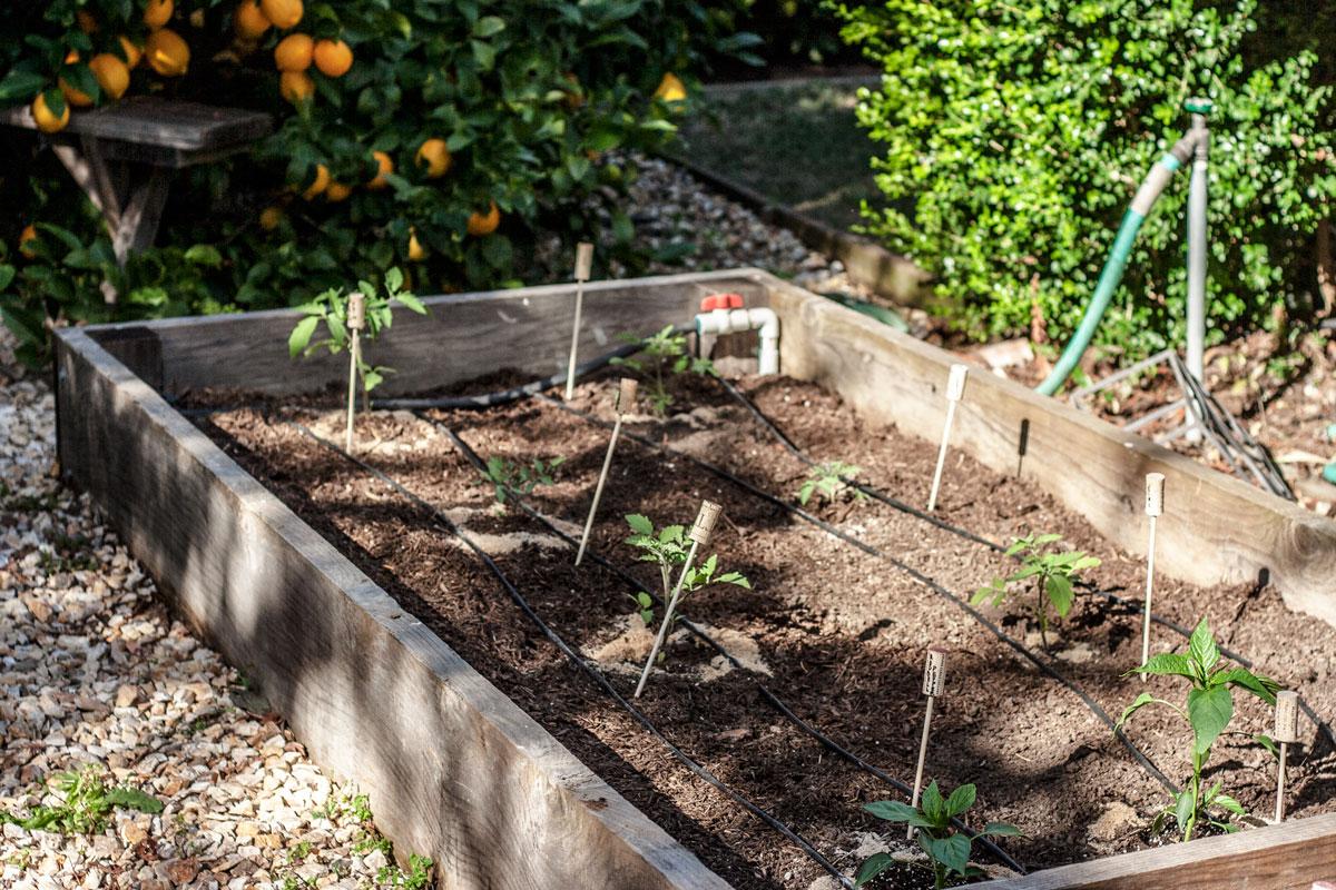 tomato-garden-004