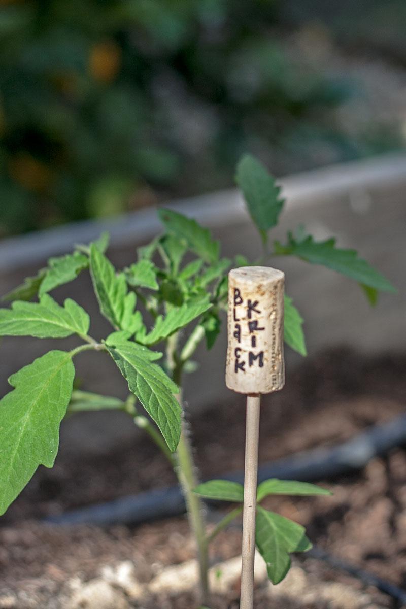 tomato-garden-006